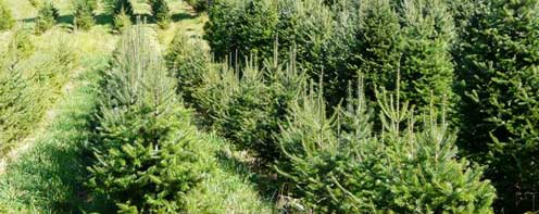 christmas tree bazaar christmas trees