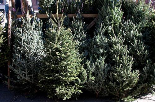 christmas tree bazaar christmas trees